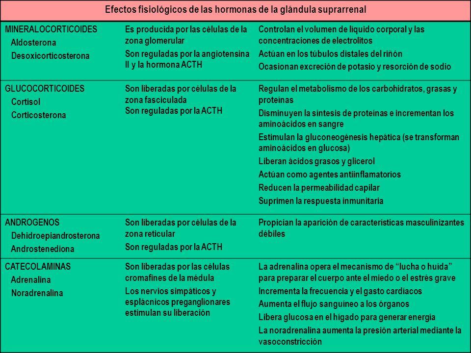 Efectos fisiológicos de las hormonas de la glándula suprarrenal MINERALOCORTICOIDES Aldosterona Desoxicorticosterona Es producida por las células de la zona glomerular Son reguladas por la angiotensina II y la hormona ACTH Controlan el volumen de líquido corporal y las concentraciones de electrolitos Actúan en los túbulos distales del riñón Ocasionan excreción de potasio y resorción de sodio GLUCOCORTICOIDES Cortisol Corticosterona Son liberadas por células de la zona fasciculada Son reguladas por la ACTH Regulan el metabolismo de los carbohidratos, grasas y proteínas Disminuyen la síntesis de proteínas e incrementan los aminoácidos en sangre Estimulan la gluconeogénesis hepática (se transforman aminoácidos en glucosa) Liberan ácidos grasos y glicerol Actúan como agentes antiinflamatorios Reducen la permeabilidad capilar Suprimen la respuesta inmunitaria ANDROGENOS Dehidroepiandrosterona Androstenediona Son liberadas por células de la zona reticular Son reguladas por la ACTH Propician la aparición de características masculinizantes débiles CATECOLAMINAS Adrenalina Noradrenalina Son liberadas por las células cromafines de la médula Los nervios simpáticos y esplácnicos preganglionares estimulan su liberación La adrenalina opera el mecanismo de lucha o huída para preparar el cuerpo ante el miedo o el estrés grave Incrementa la frecuencia y el gasto cardíacos Aumenta el flujo sanguíneo a los órganos Libera glucosa en el hígado para generar energía La noradrenalina aumenta la presión arterial mediante la vasoconstricción