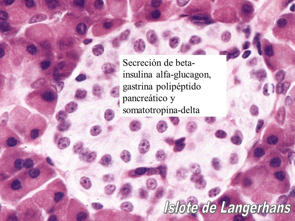 Secreción de beta- insulina alfa-glucagon, gastrina polipéptido pancreático y somatotropina-delta