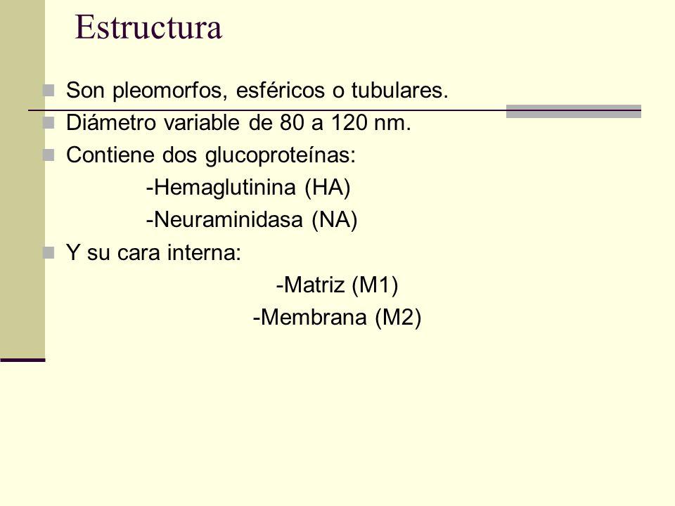 Estructura Son pleomorfos, esféricos o tubulares. Diámetro variable de 80 a 120 nm. Contiene dos glucoproteínas: -Hemaglutinina (HA) -Neuraminidasa (N