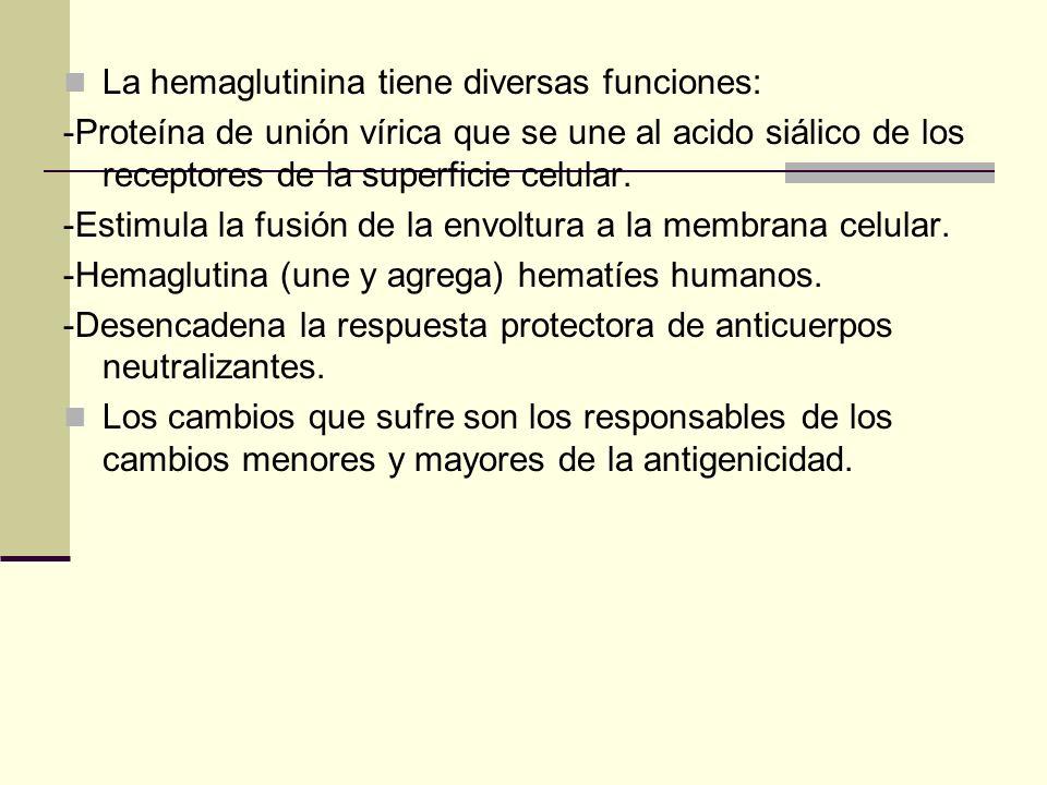 La hemaglutinina tiene diversas funciones: -Proteína de unión vírica que se une al acido siálico de los receptores de la superficie celular. -Estimula