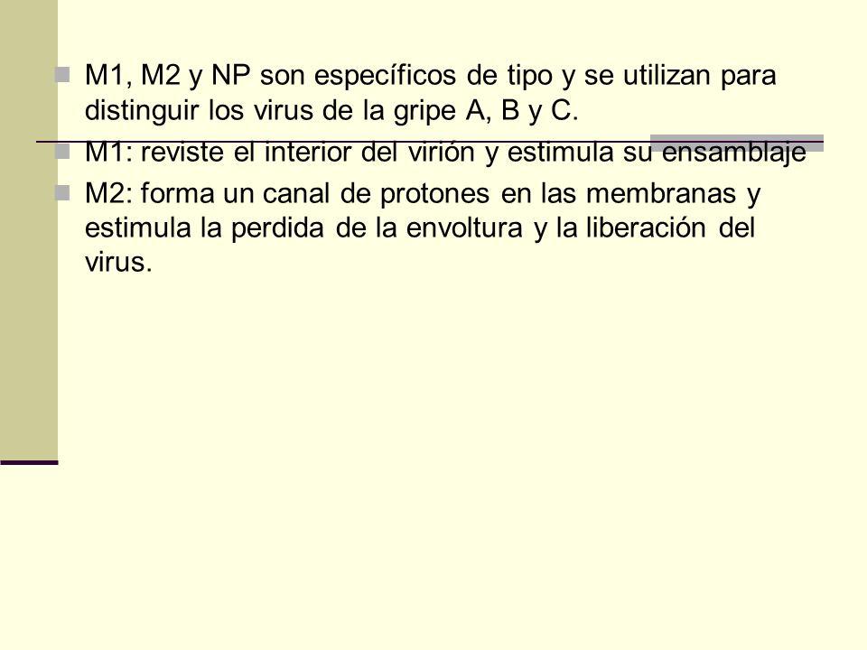 M1, M2 y NP son específicos de tipo y se utilizan para distinguir los virus de la gripe A, B y C. M1: reviste el interior del virión y estimula su ens