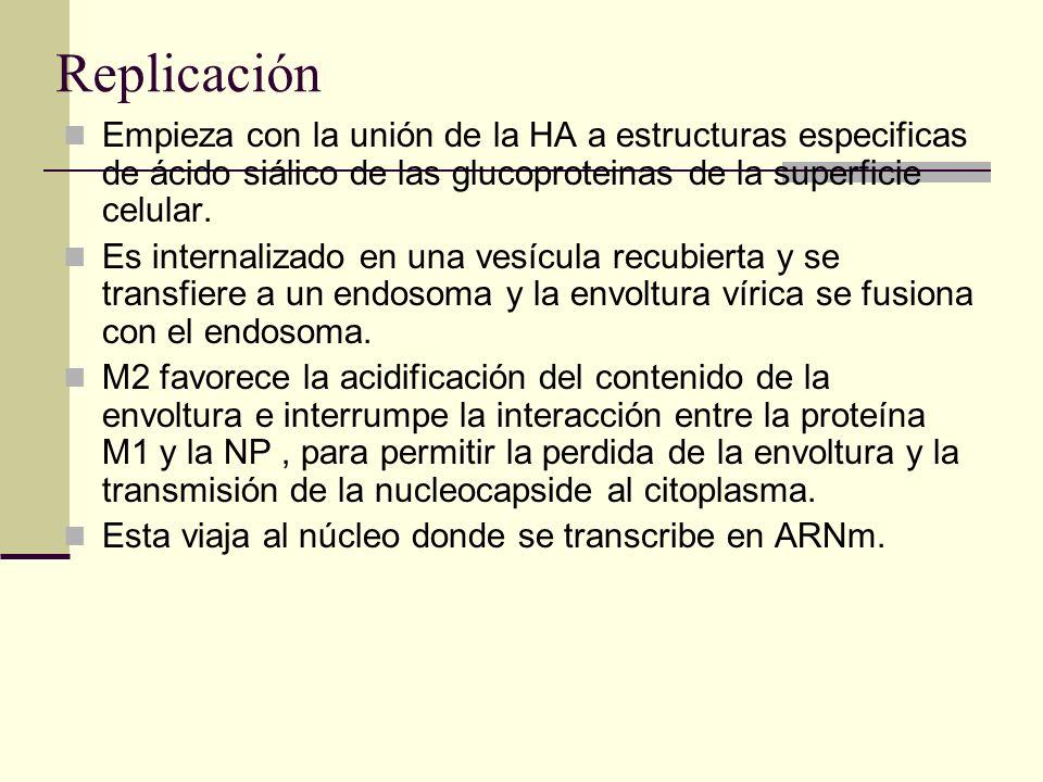 Replicación Empieza con la unión de la HA a estructuras especificas de ácido siálico de las glucoproteinas de la superficie celular. Es internalizado
