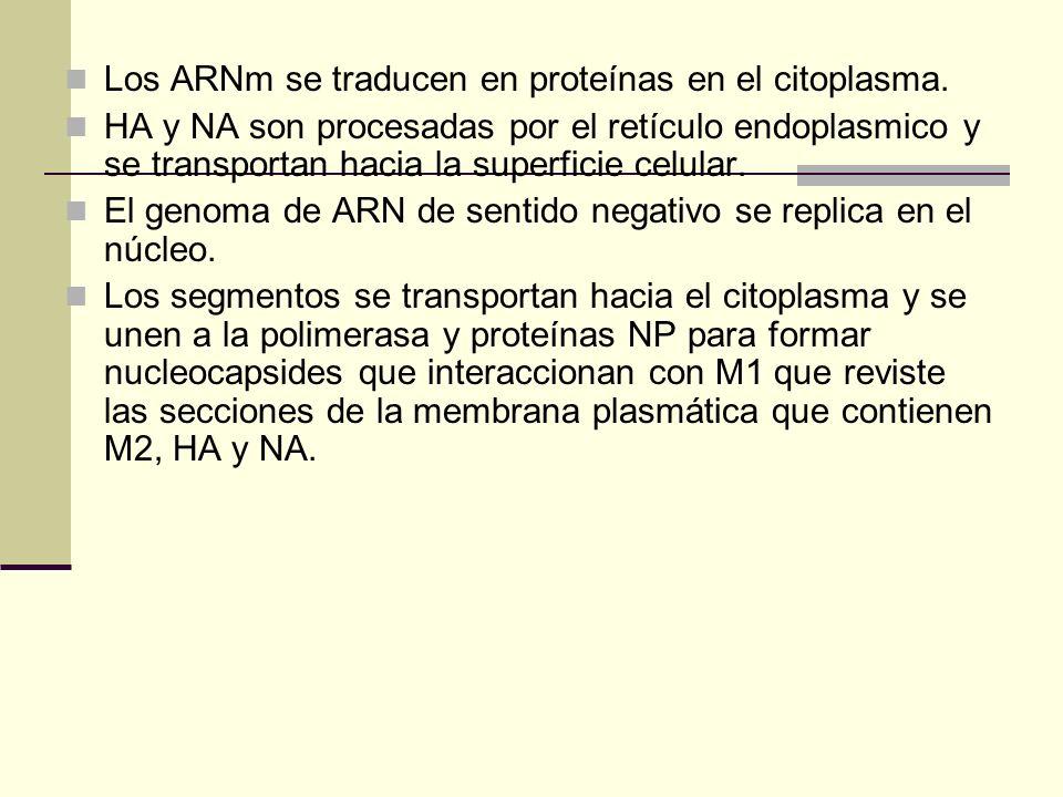 Los ARNm se traducen en proteínas en el citoplasma. HA y NA son procesadas por el retículo endoplasmico y se transportan hacia la superficie celular.