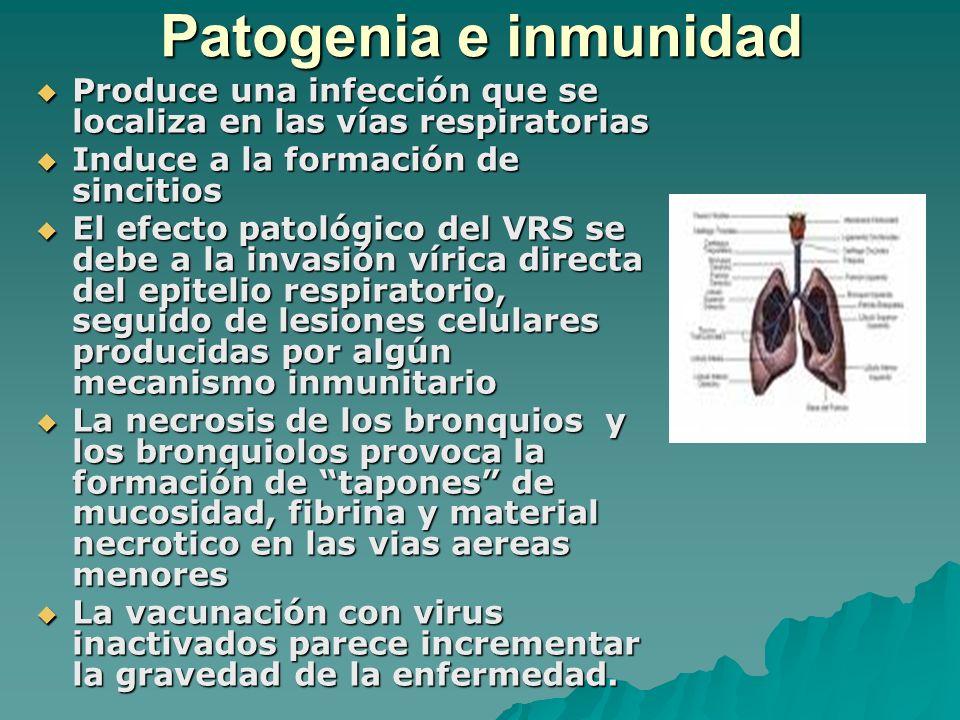 Patogenia e inmunidad Produce una infección que se localiza en las vías respiratorias Produce una infección que se localiza en las vías respiratorias