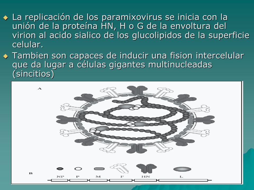 La replicación de los paramixovirus se inicia con la unión de la proteína HN, H o G de la envoltura del virion al acido sialico de los glucolipidos de