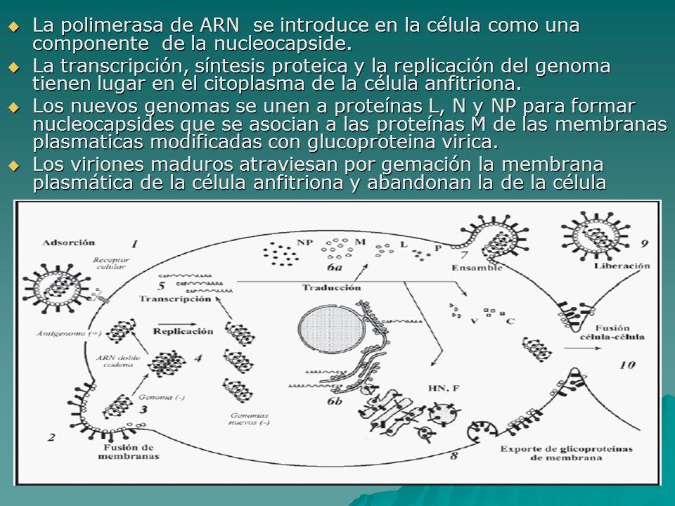 La polimerasa de ARN se introduce en la célula como una componente de la nucleocapside. La polimerasa de ARN se introduce en la célula como una compon