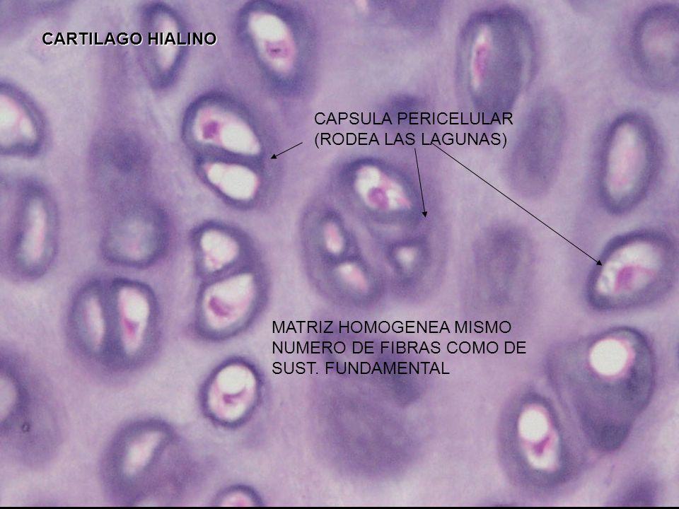 Cartílago traqueal CARTILAGO HIALINO CRECIMIENTO APOSICIONAL (GRUPOS ISOGENOS CRECIMIENTO APOSICIONAL (GRUPOS ISOGENOS) CRECIMIENTO APOSICIONAL Pericondrio, colagena 1 fibroblastos y vasos sanguineos
