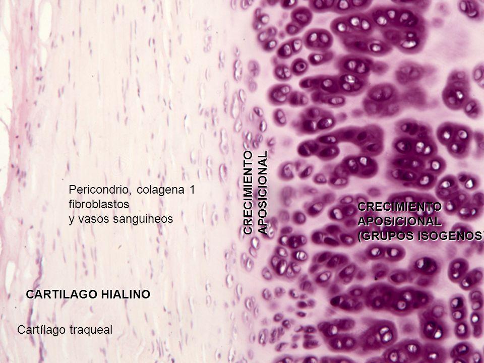 CARTILAGO ELASTICO: tiene fibras elásticas esta en el pabellón de la oreja, epiglotis, y laringe FIBRAS ELASTICAS GRUPOS ISOGENOS