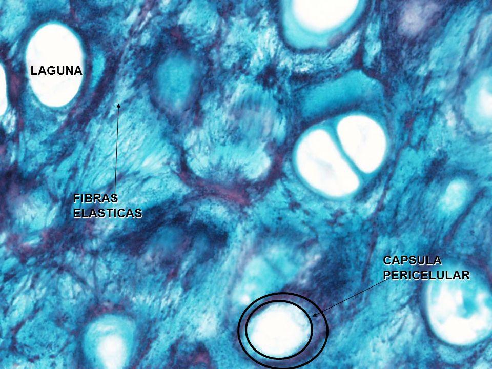 Membrana sinovial CELULAS A (MACROFAGOS) Y B (SECRETORA DE LIQUIDO SINOVIAL)