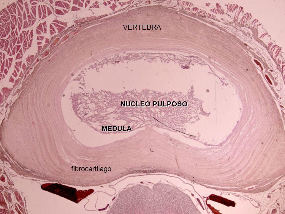 Osificación intramembranosa. Hueso compacto primitivo. CEL. MESENQUIMALES