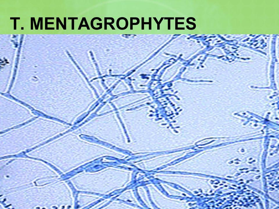 T. MENTAGROPHYTES