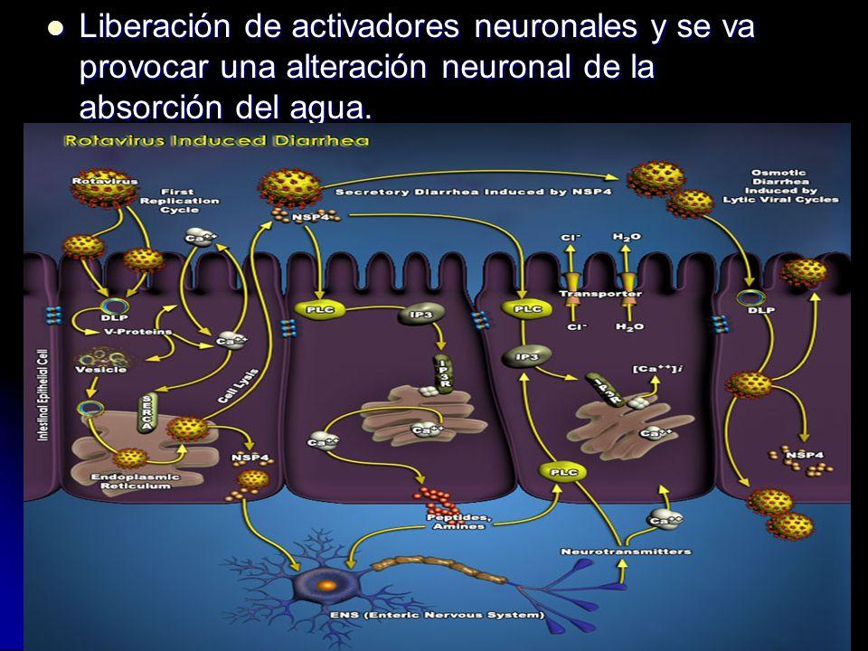 Liberación de activadores neuronales y se va provocar una alteración neuronal de la absorción del agua. Liberación de activadores neuronales y se va p