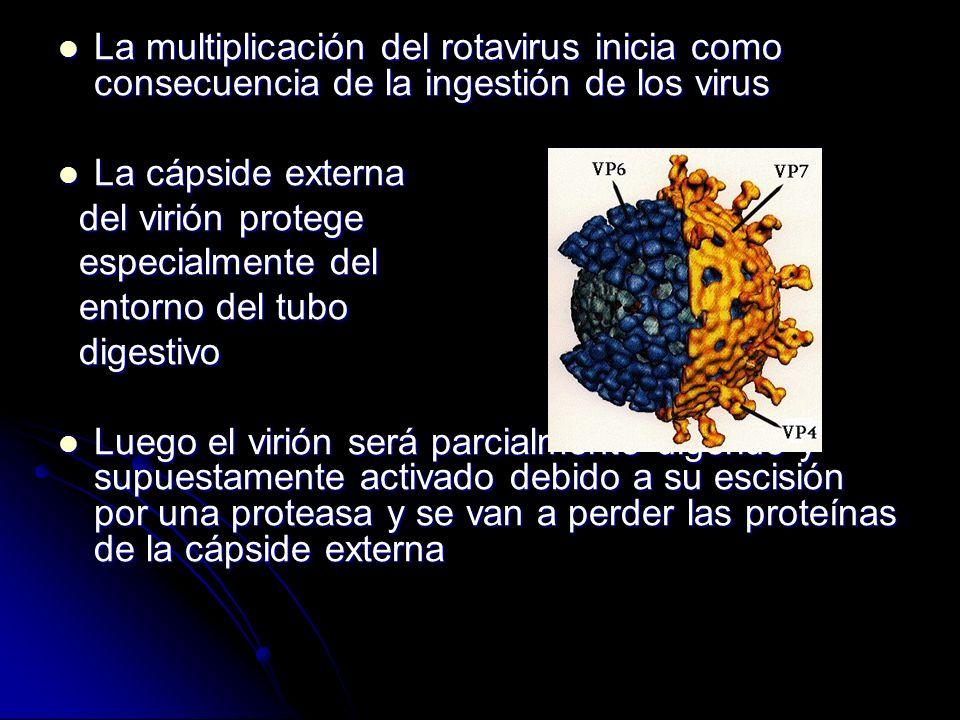 La multiplicación del rotavirus inicia como consecuencia de la ingestión de los virus La multiplicación del rotavirus inicia como consecuencia de la i