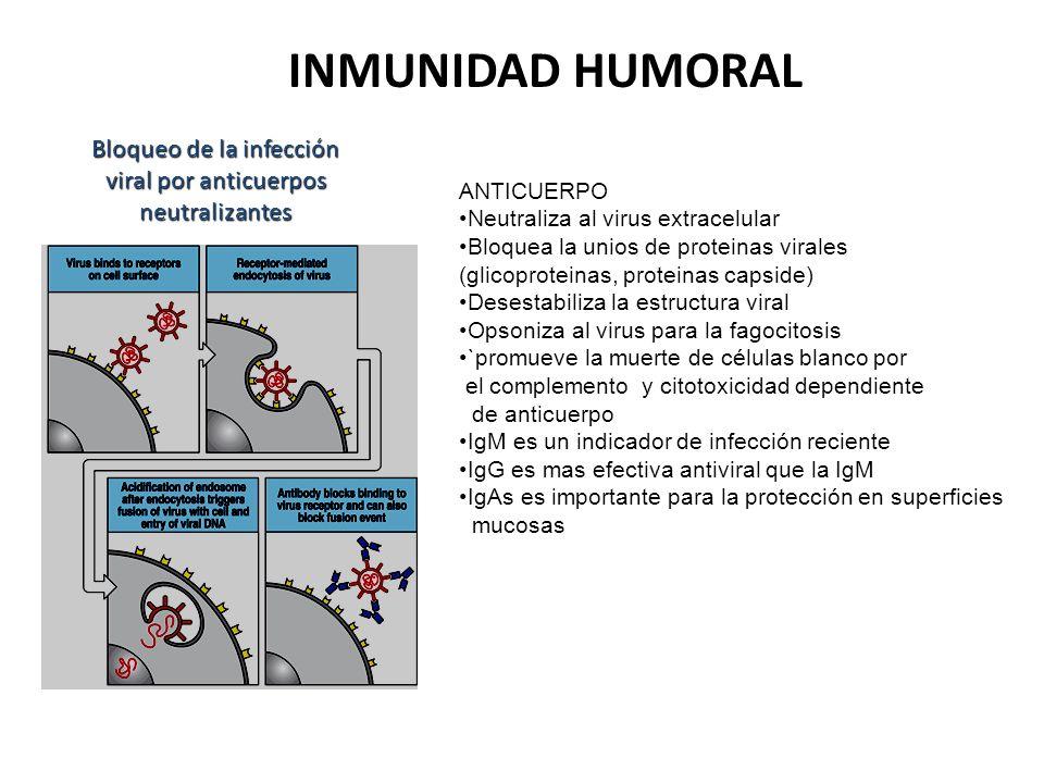 Bloqueo de la infección viral por anticuerpos neutralizantes INMUNIDAD HUMORAL ANTICUERPO Neutraliza al virus extracelular Bloquea la unios de protein