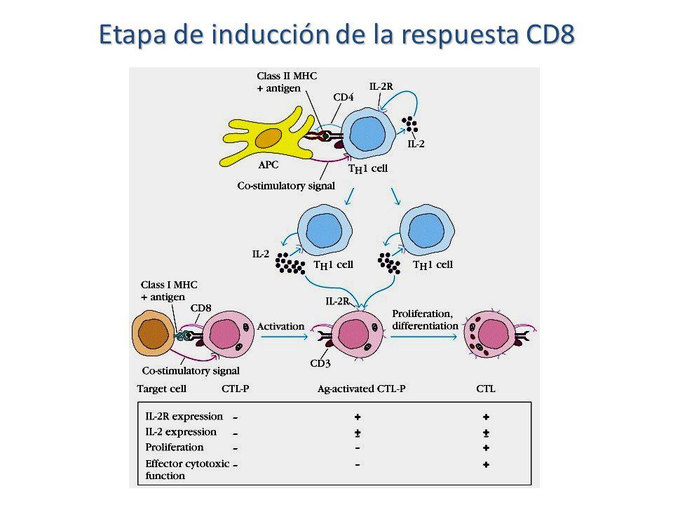 Etapa de inducción de la respuesta CD8