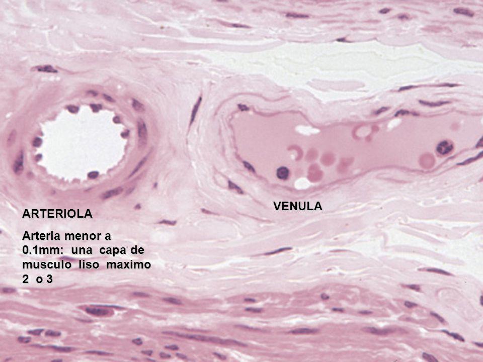 ARTERIOLA Arteria menor a 0.1mm: una capa de musculo liso maximo 2 o 3 VENULA