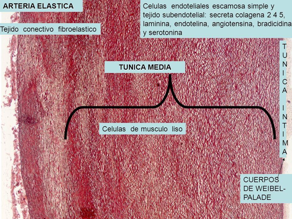 ARTERIA ELASTICA TUNICA MEDIA TUNICA INTIMATUNICA INTIMA CUERPOS DE WEIBEL- PALADE Celulas endoteliales escamosa simple y tejido subendotelial: secret