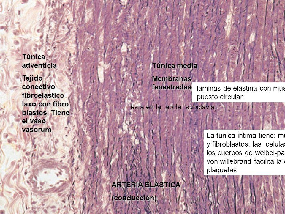 ARTERIA ELASTICA (conducción) Túnica adventicia Tejido conectivo fibroelastico laxo con fibro blastos. Tiene el vaso vasorum Túnica media Membranas fe