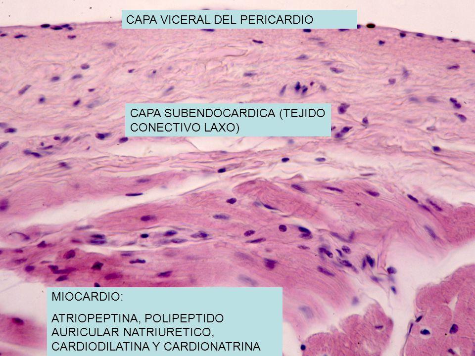 CAPA VICERAL DEL PERICARDIO CAPA SUBENDOCARDICA (TEJIDO CONECTIVO LAXO) MIOCARDIO: ATRIOPEPTINA, POLIPEPTIDO AURICULAR NATRIURETICO, CARDIODILATINA Y