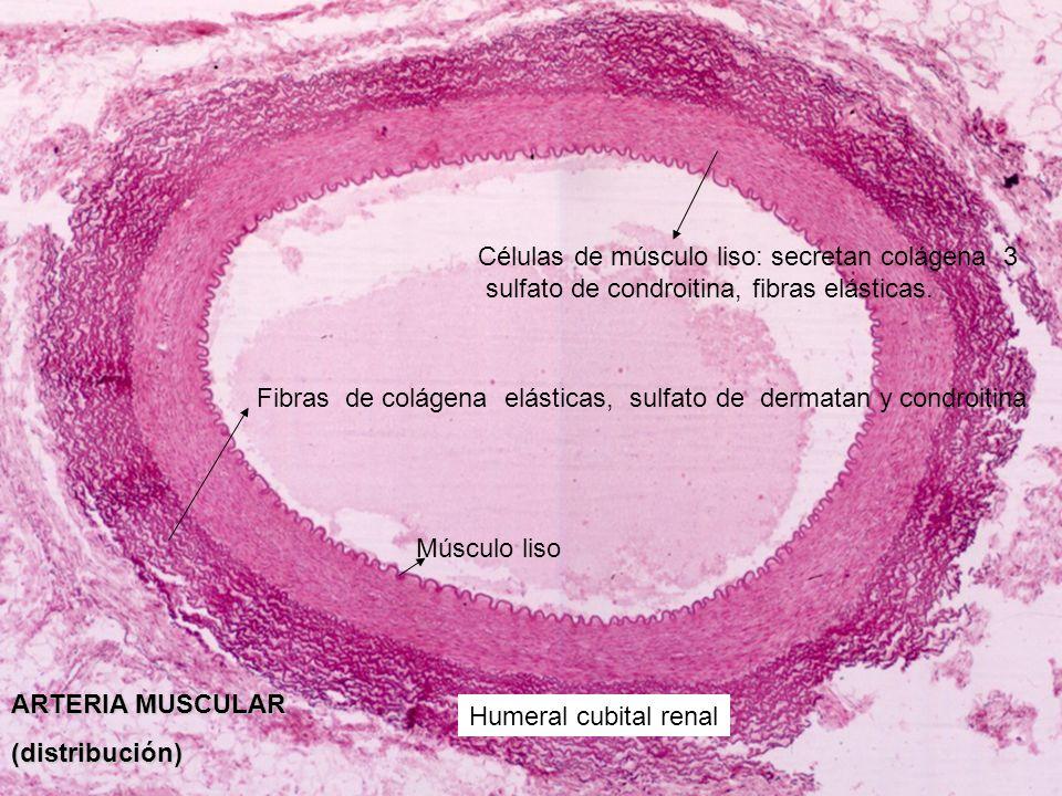 ARTERIA MUSCULAR (distribución) Humeral cubital renal Células de músculo liso: secretan colágena 3 sulfato de condroitina, fibras elásticas. Fibras de