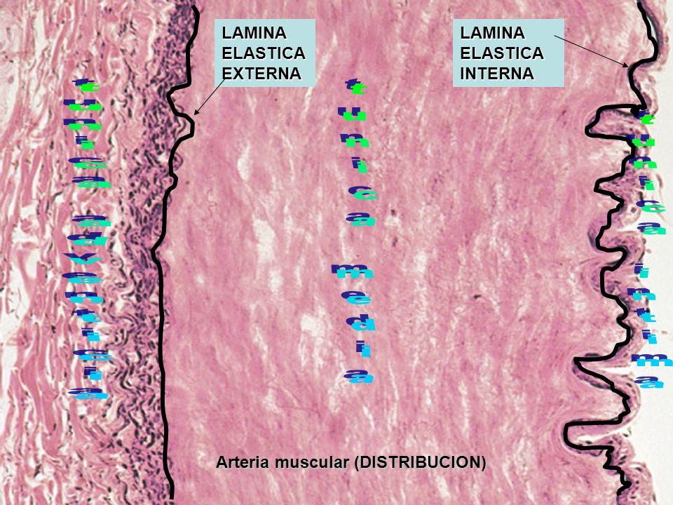 Arteria muscular (DISTRIBUCION) LAMINA ELASTICA INTERNA LAMINA ELASTICA EXTERNA