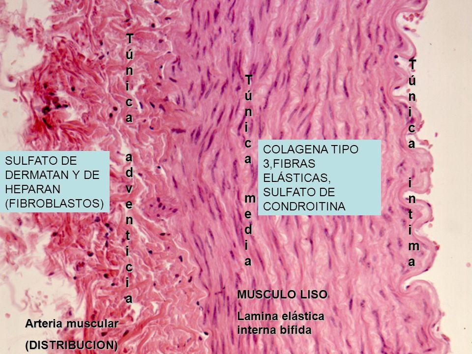 Arteria muscular (DISTRIBUCION) TúnicaTúnica media mediaTúnicaTúnica media media Túnica Túnica adventiciaadventiciaTúnica Túnica adventiciaadventicia