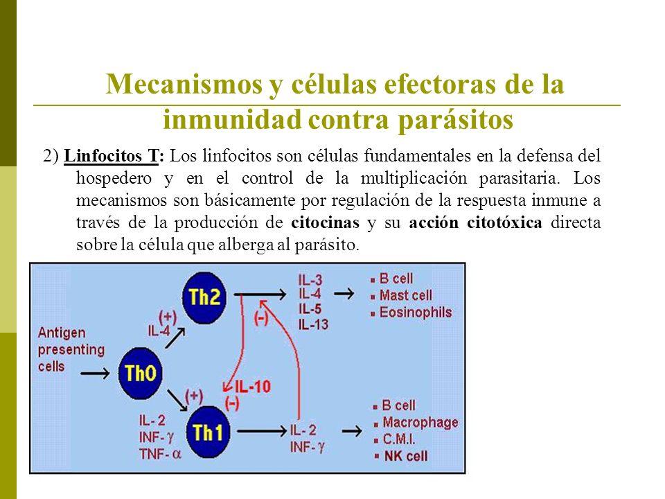 2) Linfocitos T: Los linfocitos son células fundamentales en la defensa del hospedero y en el control de la multiplicación parasitaria. Los mecanismos