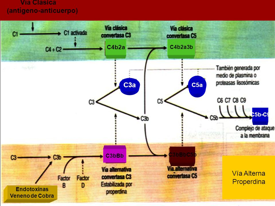 C3a C5a C5b-C9 C4b2a3b C4b2a Vía Clásica (antígeno-anticuerpo) Vía Alterna Properdina C3bBbC5b C3bBb Endotoxínas Veneno de Cobra