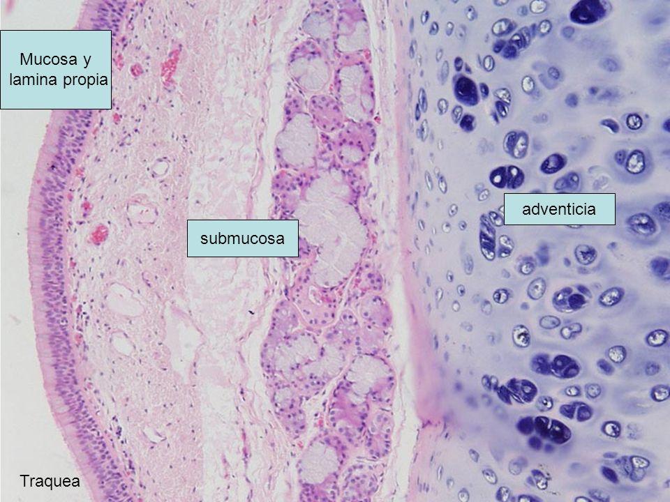 adventicia Mucosa y lamina propia submucosa