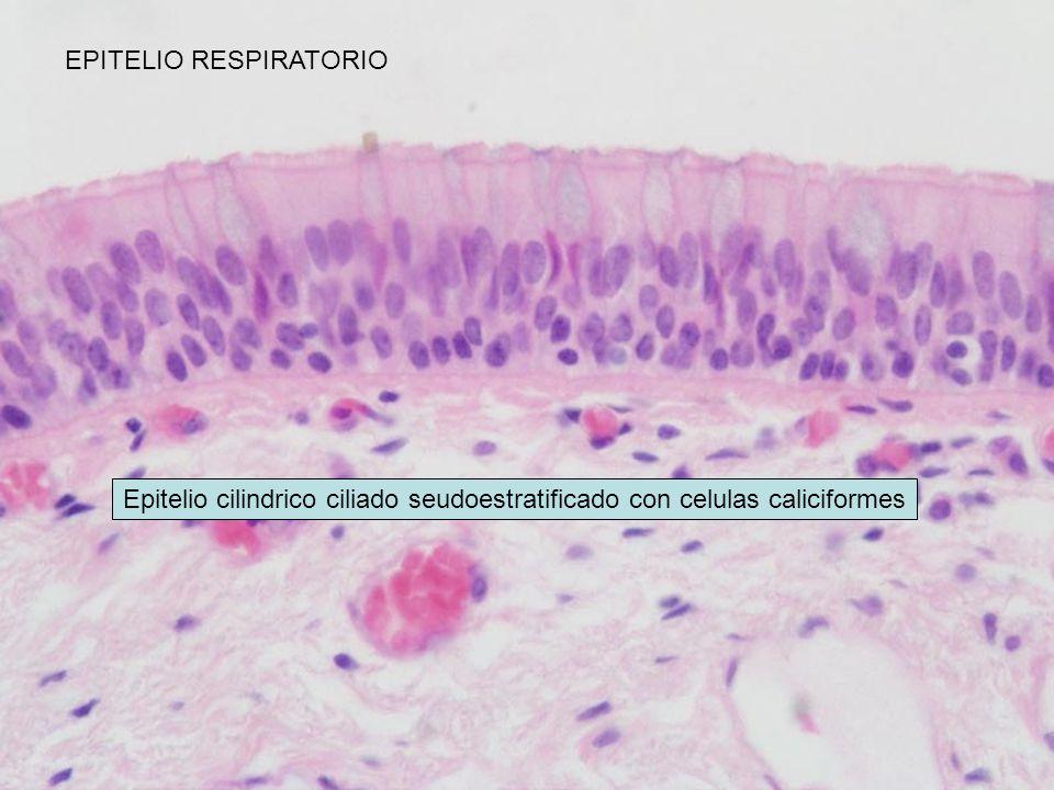 EPITELIO RESPIRATORIO Epitelio cilindrico ciliado seudoestratificado con celulas caliciformes