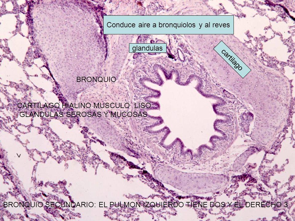 BRONQUIO BRONQUIO SECUNDARIO: EL PULMON IZQUIERDO TIENE DOS Y EL DERECHO 3 CARTILAGO HIALINO MUSCULO LISO GLANDULAS SEROSAS Y MUCOSAS cartilago Conduc