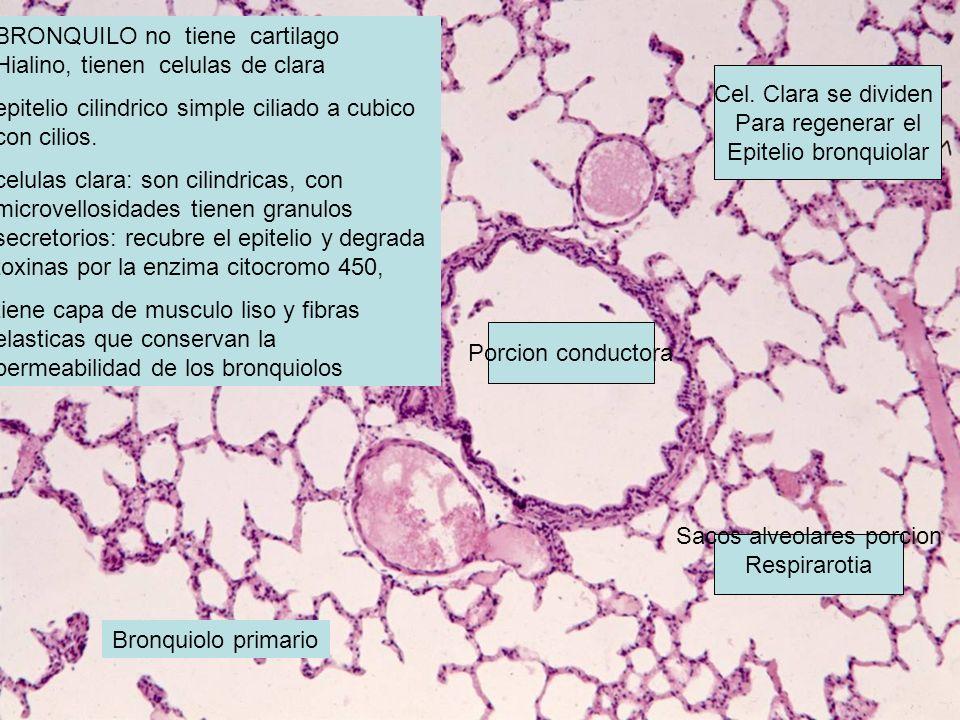 BRONQUILO no tiene cartilago Hialino, tienen celulas de clara epitelio cilindrico simple ciliado a cubico con cilios. celulas clara: son cilindricas,