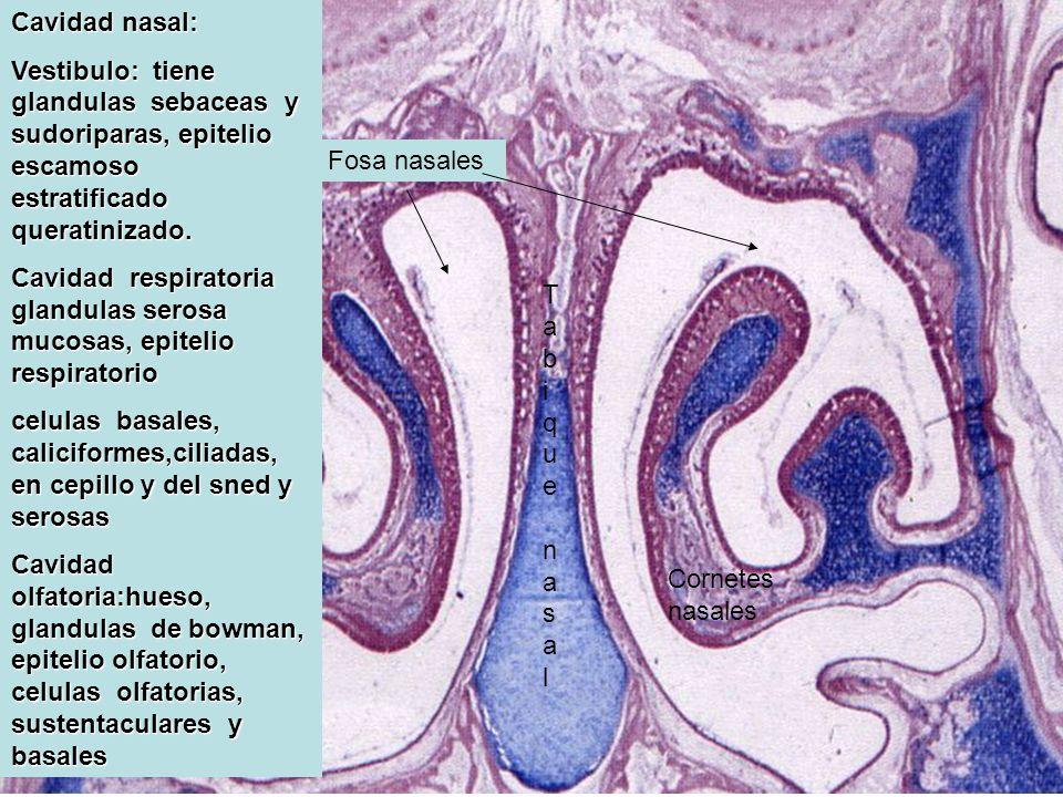 Fosa nasales Tabique nasalTabique nasal Cavidad nasal: Vestibulo: tiene glandulas sebaceas y sudoriparas, epitelio escamoso estratificado queratinizad