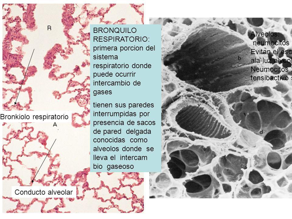 BRONQUILO RESPIRATORIO: primera porcion del sistema respiratorio donde puede ocurrir intercambio de gases tienen sus paredes interrumpidas por presenc