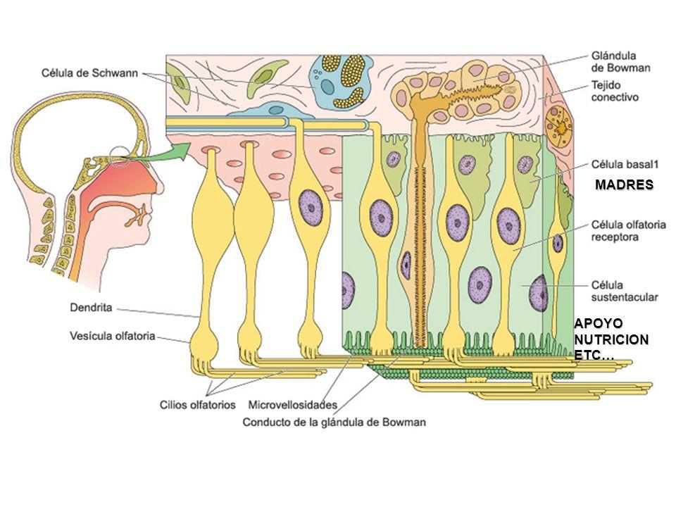 Epitelio olfatorio Célula olfatorio Glándula de bowman Tejido conectivo laxo SECRECION SEROSA
