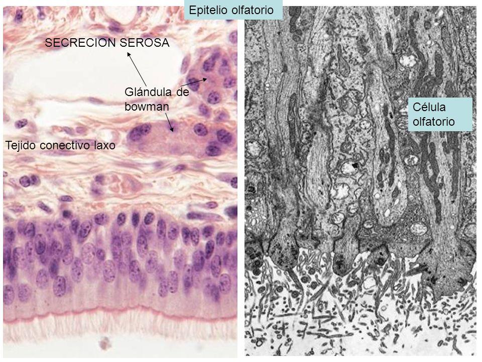 BRONQUILO RESPIRATORIO: primera porcion del sistema respiratorio donde puede ocurrir intercambio de gases tienen sus paredes interrumpidas por presencia de sacos de pared delgada conocidas como alveolos donde se lleva el intercam bio gaseoso Bronkiolo respiratorio Conducto alveolar Alveolos: neumocitos tipo 1:95 % Evitan el escape de liquido tisular ala luz alveolar Neumocitos 2:5% tiene el agente tensioactivo surfactante