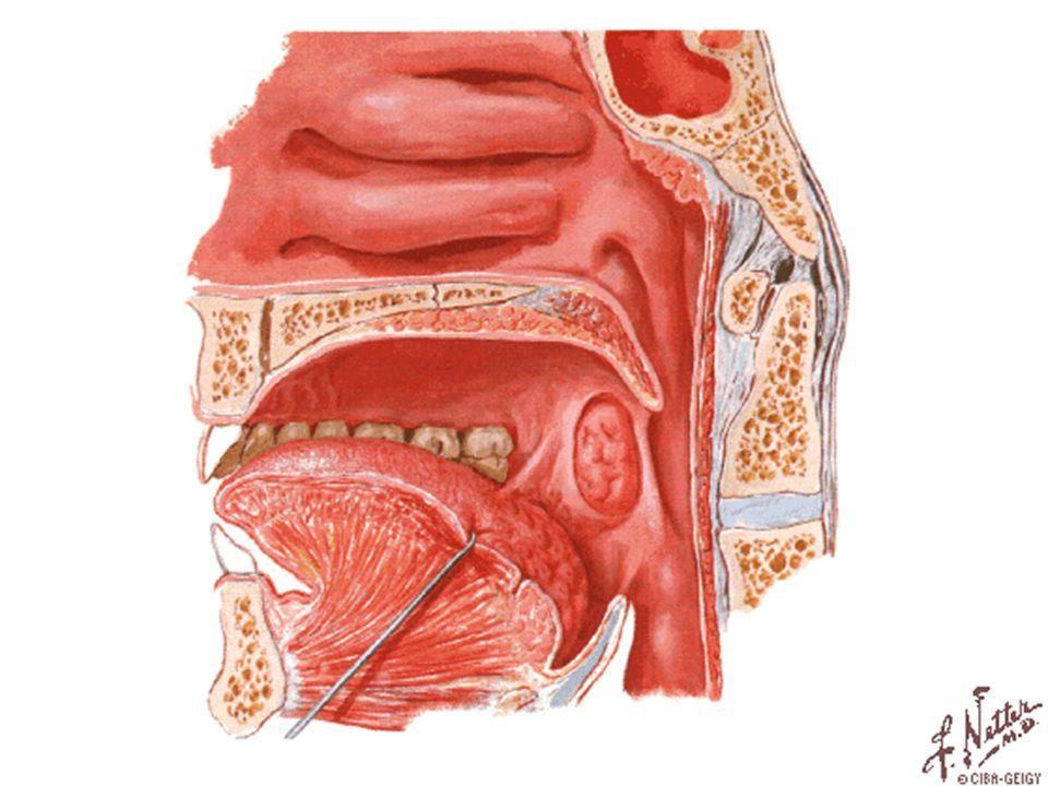 BRONQUIO BRONQUIO SECUNDARIO: EL PULMON IZQUIERDO TIENE DOS Y EL DERECHO 3 CARTILAGO HIALINO MUSCULO LISO GLANDULAS SEROSAS Y MUCOSAS cartilago Conduce aire a bronquiolos y al reves glandulas