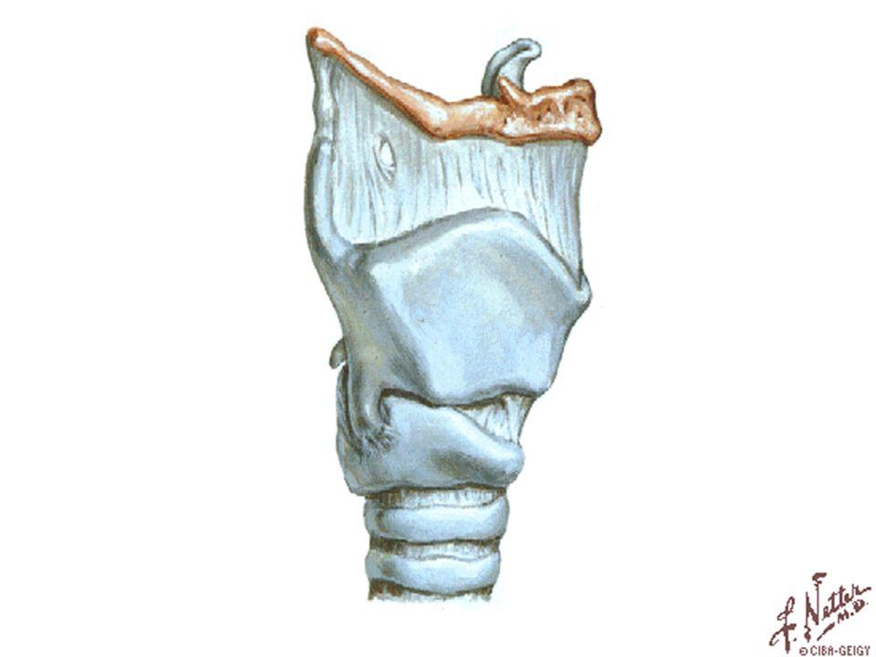 La traquea: tiene 3 capas: mucosa: epitelio respiratorio (epitelio cilindrico ciliado seudoestratificado: tiene celulas caliciformes30% secretan mucinogeno cilindricas ciliadas 30% transportan el moco, basales 30% celulas madre, en cepillo, sned serosas.
