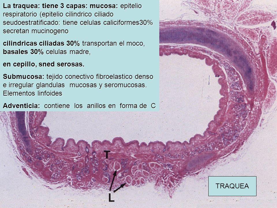 La traquea: tiene 3 capas: mucosa: epitelio respiratorio (epitelio cilindrico ciliado seudoestratificado: tiene celulas caliciformes30% secretan mucin