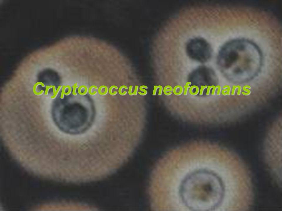 Identificacion Se lleva a cabo en agar niger seed.