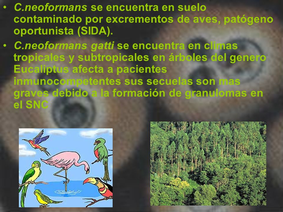 C.neoformans se encuentra en suelo contaminado por excrementos de aves, patógeno oportunista (SIDA). C.neoformans gatti se encuentra en climas tropica