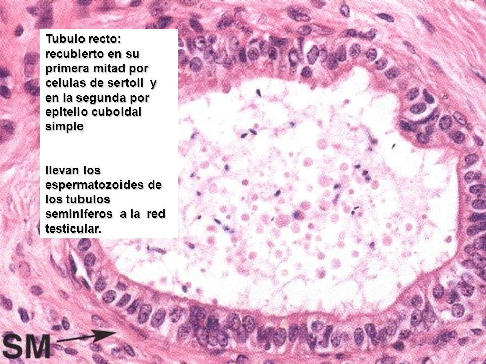Tubulo recto: recubierto en su primera mitad por celulas de sertoli y en la segunda por epitelio cuboidal simple llevan los espermatozoides de los tub
