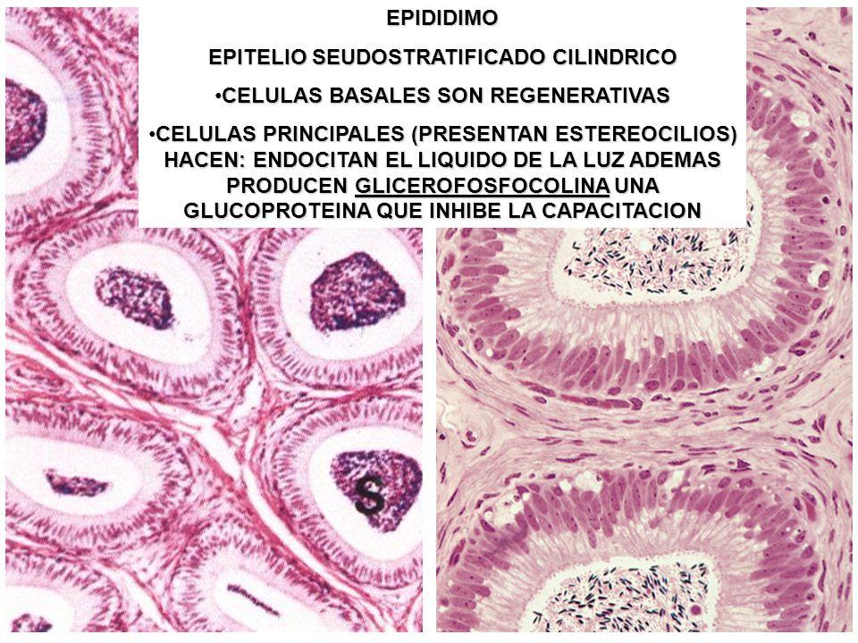 EPIDIDIMO EPITELIO SEUDOSTRATIFICADO CILINDRICO CELULAS BASALES SON REGENERATIVASCELULAS BASALES SON REGENERATIVAS CELULAS PRINCIPALES (PRESENTAN ESTE