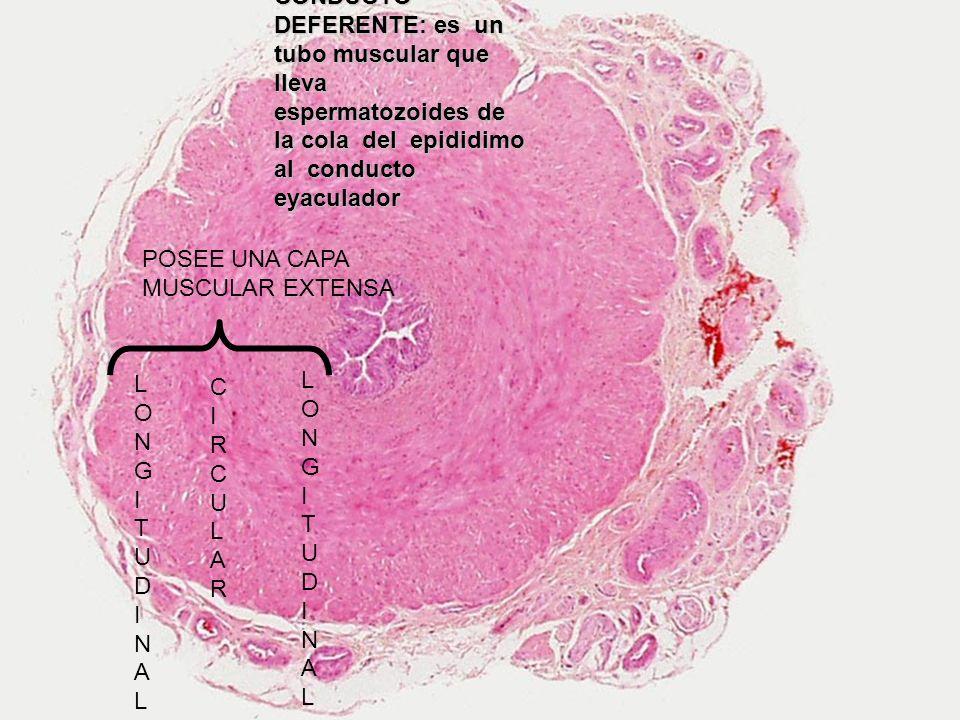CONDUCTO DEFERENTE: es un tubo muscular que lleva espermatozoides de la cola del epididimo al conducto eyaculador POSEE UNA CAPA MUSCULAR EXTENSA LONG