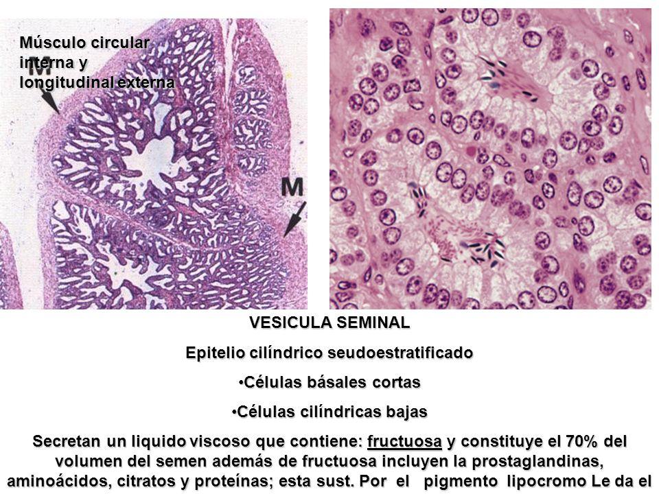 VESICULA SEMINAL Epitelio cilíndrico seudoestratificado Células básales cortasCélulas básales cortas Células cilíndricas bajasCélulas cilíndricas baja