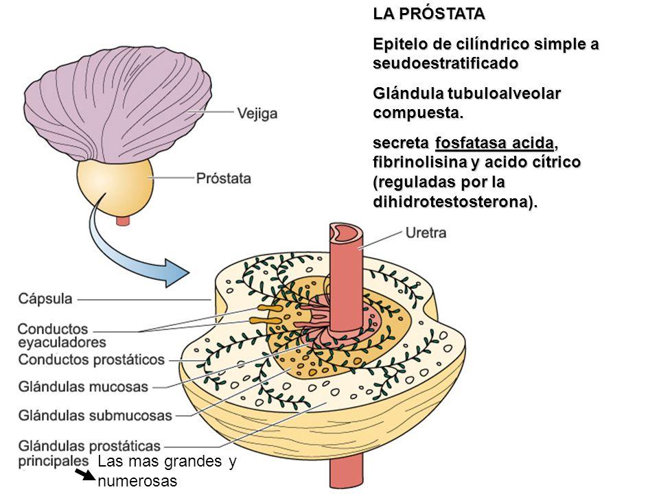 LA PRÓSTATA Epitelo de cilíndrico simple a seudoestratificado Glándula tubuloalveolar compuesta. secreta fosfatasa acida, fibrinolisina y acido cítric