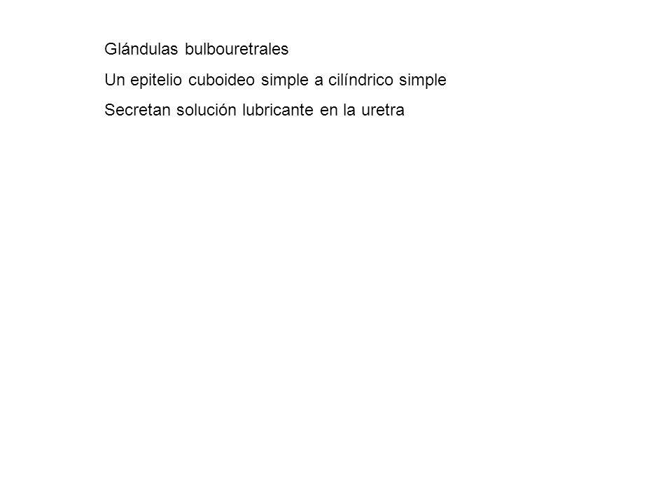 Glándulas bulbouretrales Un epitelio cuboideo simple a cilíndrico simple Secretan solución lubricante en la uretra