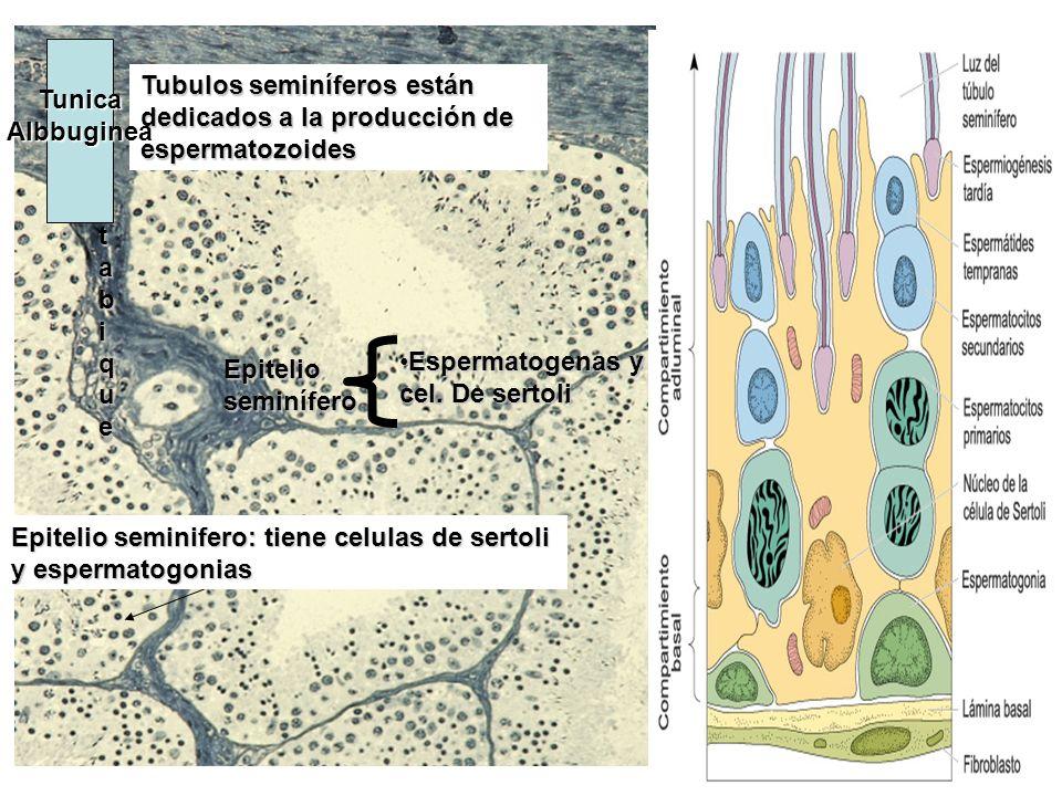 Epitelio seminífero Espermatogenas y cel. De sertoliEspermatogenas y cel. De sertoli Tubulos seminíferos están dedicados a la producción de espermatoz