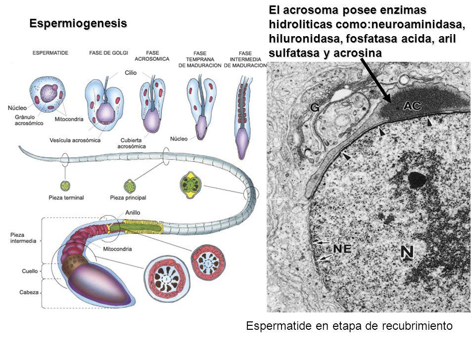 Espermatide en etapa de recubrimiento Espermiogenesis El acrosoma posee enzimas hidroliticas como:neuroaminidasa, hiluronidasa, fosfatasa acida, aril
