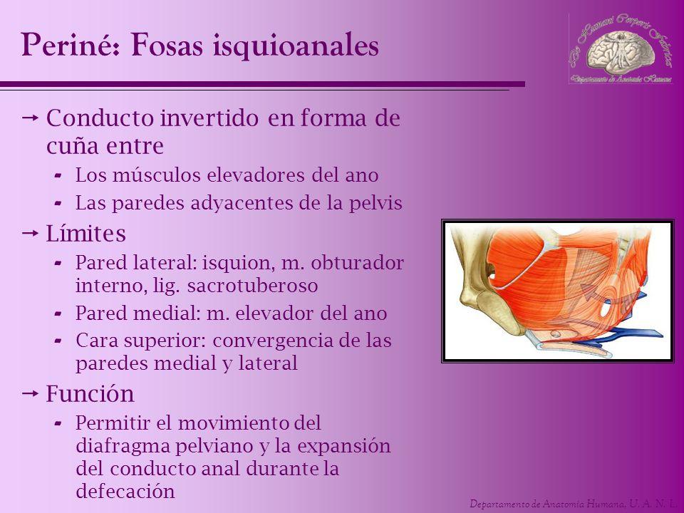 Departamento de Anatomía Humana, U. A. N. L. Periné: Fosas isquioanales Conducto invertido en forma de cuña entre - Los músculos elevadores del ano -